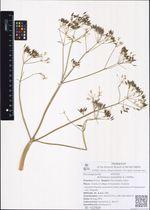 Anthriscus sylvestris (L.) Hoffm.