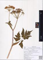 Heracleum dissectum Ledeb.
