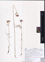 Pachypleurum alpinum Ledeb.