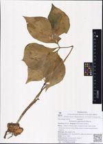 Arisaema japonicum Blume