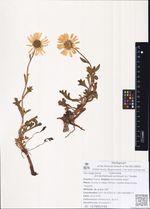 Arctanthemum arcticum (L.) Tzvelev