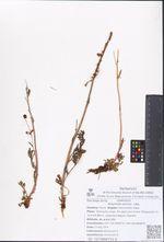 Artemisia arctica  Less.
