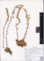 Artemisia lagopus Fisch. ex Besser