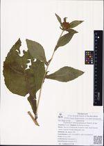 Carpesium macrocephalum Franch. & Sav.