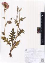 Cirsium maackii Maxim.
