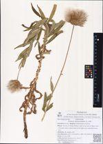 Cirsium serratuloides (L.) Hill