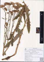 Cirsium setosum (Willd.) Bess.