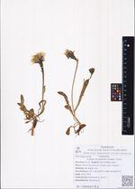 Crepis chrysantha (Ledeb.) Turcz.
