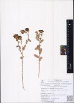 Grindelia squarrosa (Pursh) Dunal