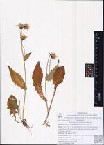 Hieracium coreanum Nakai