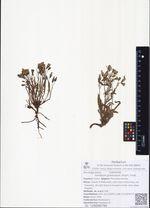 Ixeridium gramineum (Fisch.) Tzvel.