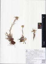 Leontopodium kamtschaticum Kom.