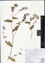 Paraixeris denticulata (Houtt.) Nakai
