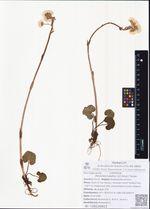 Petasites rubellus (J.F.Gmel.) Toman