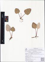 Petasites sibiricus (J.F.Gmel.) Dingwall
