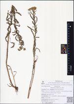 Ptarmica alpina (L.) DC.