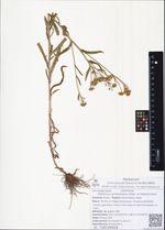Ptarmica camtschatica (Rupr. ex Heimerl) Kom.