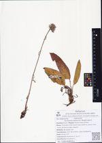 Saussurea ajanensis (Regel) Lipsch.