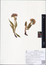 Saussurea oxyodonta Hultén