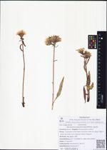 Saussurea pseudoangustifolia Lipsch.