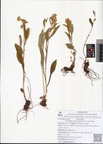 Solidago spiraeifolia Fisch. ex Herder