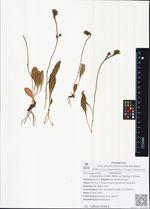 Stenotheca tristis (Willd. ex Spreng.) Schljak.