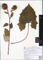 Synurus deltoides (Aiton) Nakai