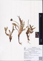 Taraxacum albescens Dahlst.