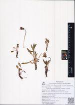 Taraxacum koryakense Charkev. Et Tzvel.