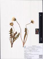 Taraxacum lateritium Dahlst.