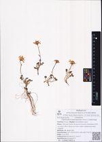 Tephroseris heterophylla (Fisch.) Conechnaja