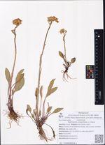 Tephroseris integrifolia (L.) Holub