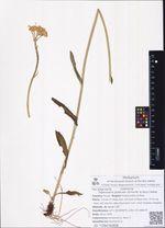 Tephroseris praticola (Schischk. & Serg.) Holub