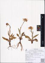 Tephroseris tundricola (Tolm.) Holub