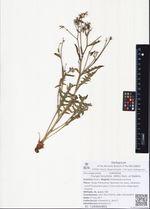 Youngia tenuifolia  (Willd.) Babc. et Stebbins