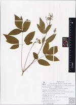 Caulophyllum robustum Maxim.