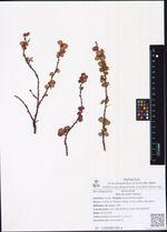 Betula exilis Sukacz.