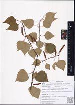Betula mandshurica  (Regel) Nakai