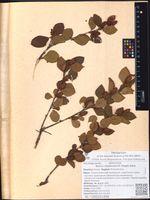 Betula middendorffii (Regel) Nakai