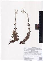 Eritrichium jacuticum M.Pop.