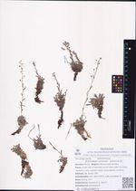 Eritrichium sericeum  (Lehm.) A.DC.