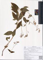 Mertensia rivularis (Turcz.) DC.