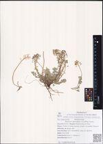 Alyssum obovatum (C.A.Mey.) Turcz.