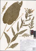 Armoracia rusticana P.Gaertn., B.Mey. & Scherb.