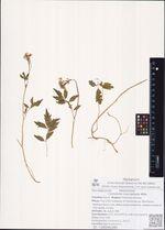 Cardamine macrophylla Willd.