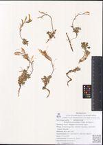 Ermania parryoides Cham. Ex Botsch.
