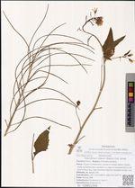 Sisymbrium luteum (Maxim.) O.E. Schulz