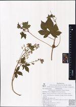 Humulopsis scandens (Lour.) Grudz.