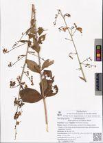 Adenophora curvidens Nakai