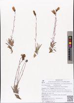 Campanula aldanensis Fed. & Karav.